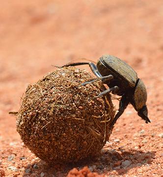 boule-scarabee-biodiversite