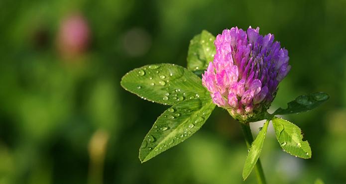 trefle-fleur-biodiversite